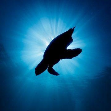 Dekoratives Bild: Schildkröte im Meer im Gegenlicht der Sonne