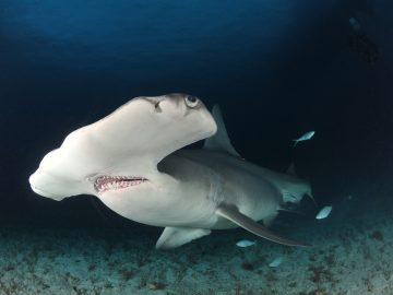 Dekoratives Bild: Hammerhai im Meer
